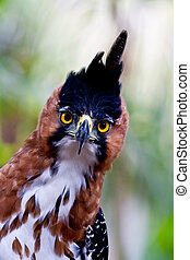 hawk eagle front - The amazing big yellow eyes of the ornate...