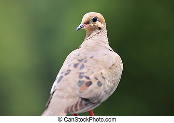 Morning dove - Close up shot of beautiful morning dove bird