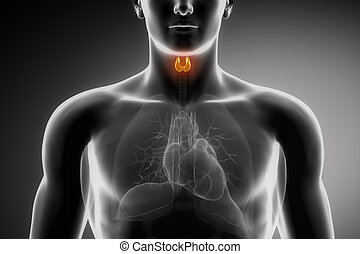 Male thyroid anatomy - Male anatomy of human organs in x-ray...