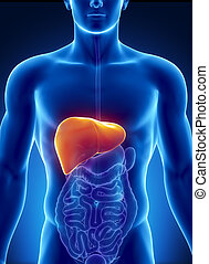 Male liver anatomy with digestive organs - Male anatomy of...