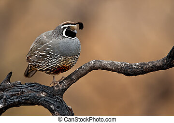 California Quail (Callipepla californica) - Adult male...