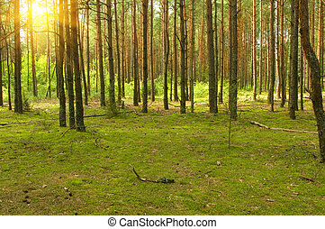 Sunny pine forest, sunrise with rays of sun light coming...