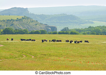 Cows on summer meadow in mountain