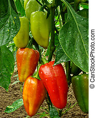 pepper plant - red and green peppers growing in the garden...