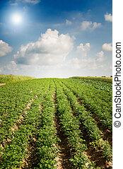 Landscape of potato plantation. - Wonderful potato field by...