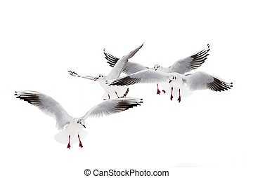 Bkack-Headed Gulls - Black-headed gulls in winter plumage