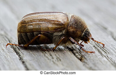 European june beetle or summer chafer, Amphimallon...