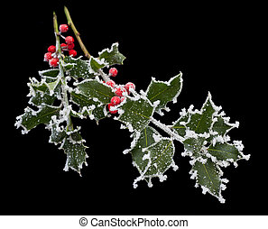 Frosty Holly Stem - Holly leaves and berries covered with...