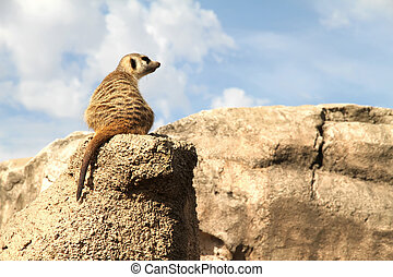Relaxed Meerkat - A relaxed Meerkat enjoying the view from a...