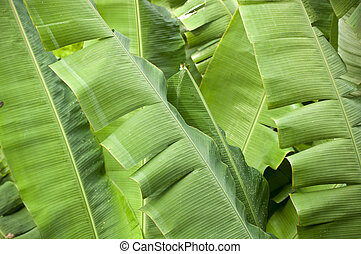 Banana Palms - Banana palms in vibrant green with water...