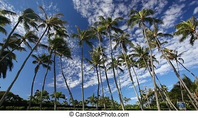 Palm Trees - A group of tall palm trees gently sway in the...