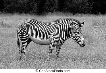 Grevys Zebra in grassland , black and white