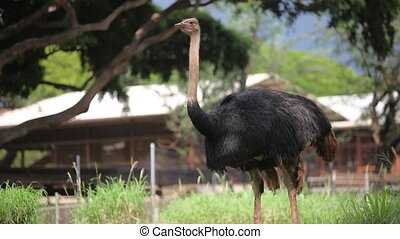 Ostrich - An Ostrich is standing in a field