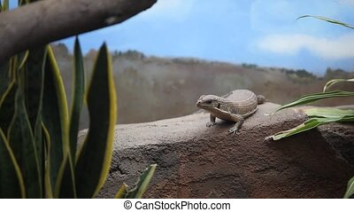 Great Plated Lizard - A Great Plated Lizard is resting on a...