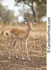 Gazelle - Wild gazelle walking in the bush in Africa