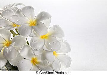 flower frangipani - close up of the fresh flower frangipani