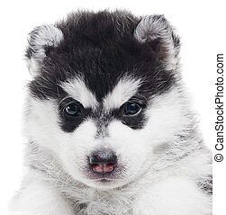 one Siberian husky puppy isolated - Portrait of one little...