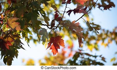 Autumn leaves are gently swaying in the wind