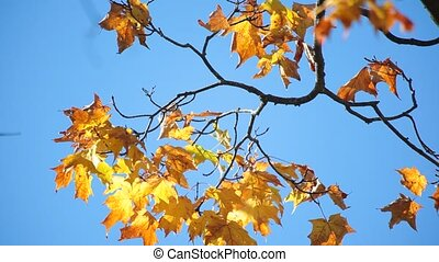 Autumn leaves are gently swaying in the wind.