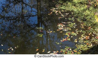 Drifting leaves  - Autumn leaves are floating in a pond.