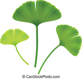 Leaves of ginkgo biloba Vector illustration on white...