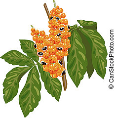 Guarana branch with fruit and leaves. Vector illustration.