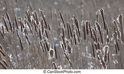 Cattail  - Some cattails are swaying in the wind.