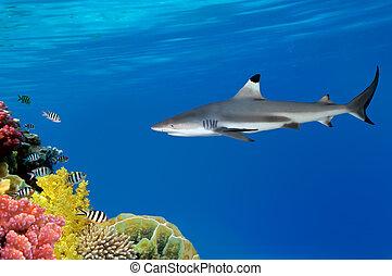 灰色, 礁石, 鯊魚, 游泳