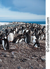 Gentoo Penguin Colony - This colony at Yankee Harbor on the...