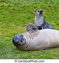 Fur Seal waving flipper with Pup - This Antarctic fur seal...