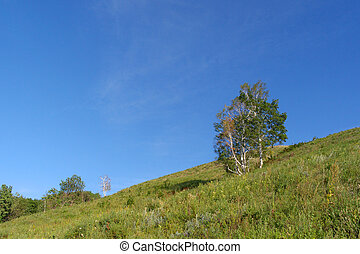 Birch on the hill