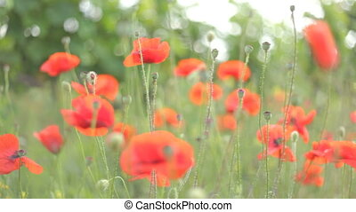 4 IN 1 EDIT Red poppies in various