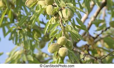 4 IN 1 EDIT Unripe almonds on tree - 4 IN 1 EDIT Close-up of...