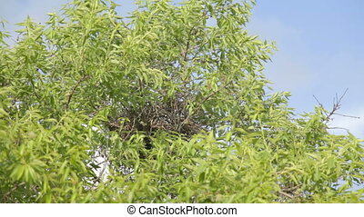 Nest of dry twigs on top of an almo - Wind rustling nest of...