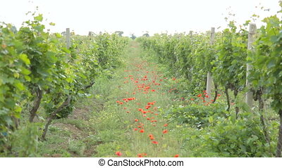 Path between two vineyards with red