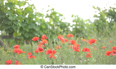 Flowering red poppies rustling from wind gusts in green...