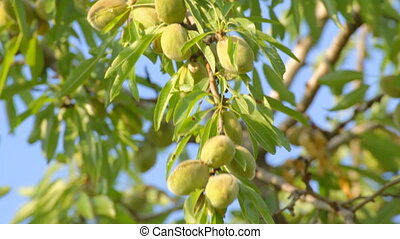 Unripe almonds hanging on tree on w