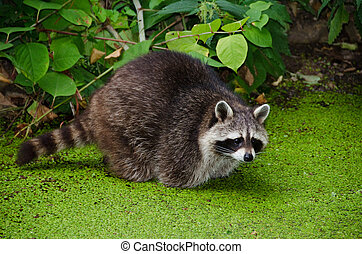 Racoon, Procyon lotor, sitting in a water pit and looking...