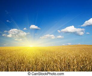 field of wheat.