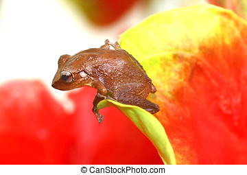 Coqui Frog - Common Coqui frog on a red anthurium...