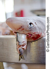 Dogfish with herring catch - An Irish Sea dogfish small...