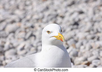 portrait of a seagull on shingle beach