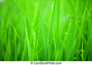 Grass closeup - Early morning dew on grass - abstract...