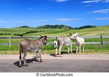 Begging Burros - Custer State Park - Famous begging burros...
