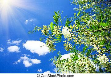 diversión, sol, blanco,  Acacia