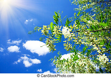 White acacia and fun sun . - Beautiful white acacia and fun...