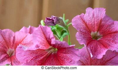 Blossom petunia - Petunia flower blossoms Timelapse