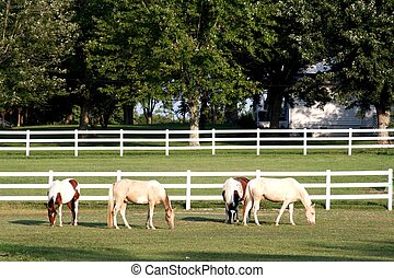 Four beautful horses in white fence - Four beautiful horses...