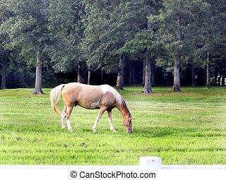 Palomino horse grazing in the feld