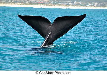 quot;SAILINGquot; - Southern Right whale sailing in Sandown...